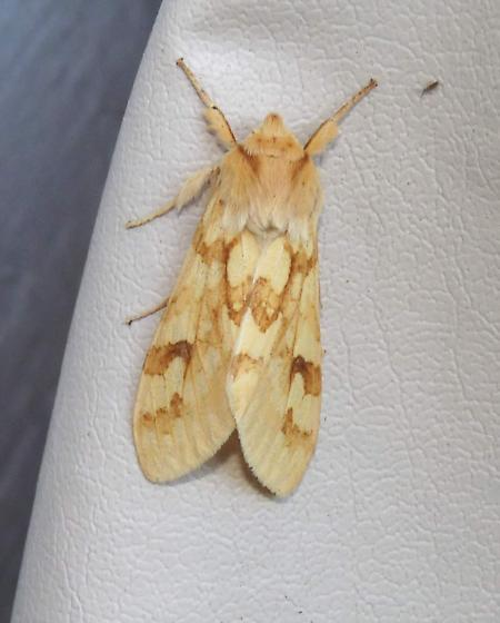 Spotted Tussock Moth - Lophocampa maculata - Hodges #8214  - Lophocampa maculata