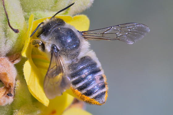 Bee 13-14mm - Megachile