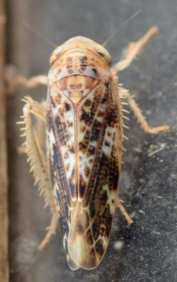 introduced leafhopper - Allygus mixtus
