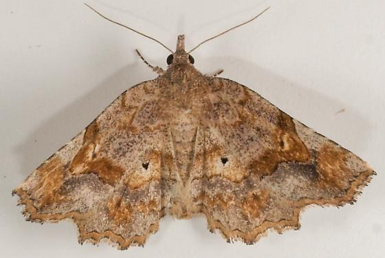 Moth to porch light  - Pangrapta decoralis