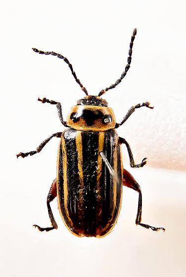 Chrysomelid - Disonycha