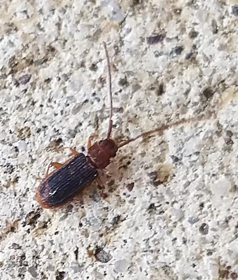 Laemophloeidae - Uleiota