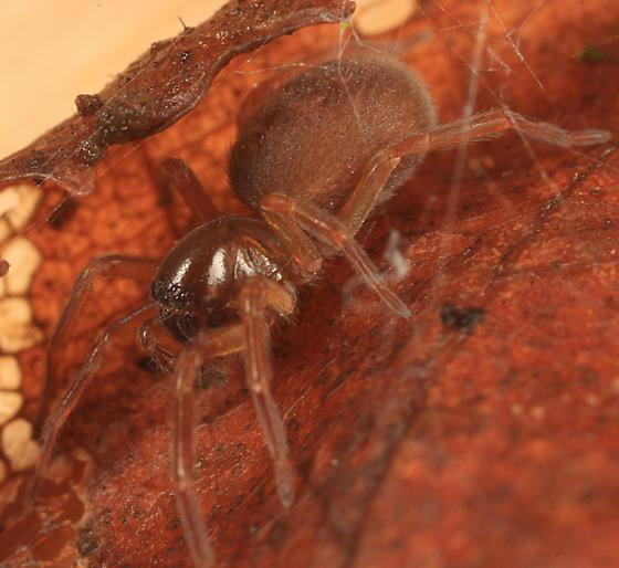 spider - Amaurobius borealis