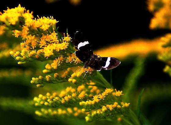 White-striped Black moth - Trichodezia albovittata