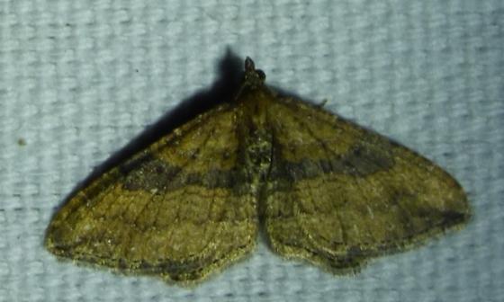 unknown moth - Orthonama obstipata - male
