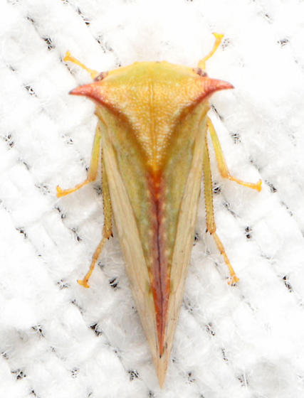 Stictocephala sp.  - Stictocephala militaris