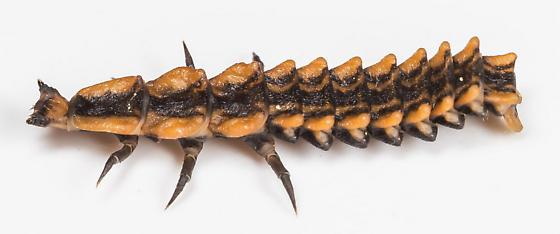 Larva - Calopteron
