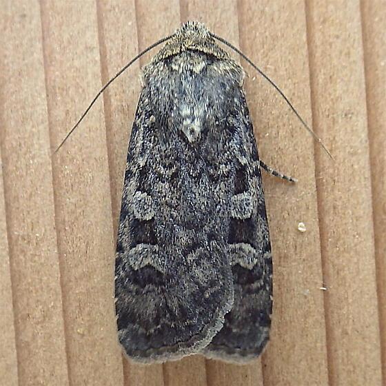 Noctuidae: Euxoa septentrionalis - Euxoa septentrionalis