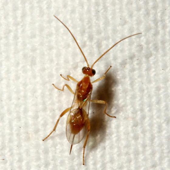 Wasp - Meteorus