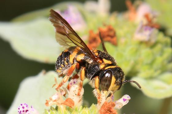 Wool-carder Bee? - Anthidiellum notatum