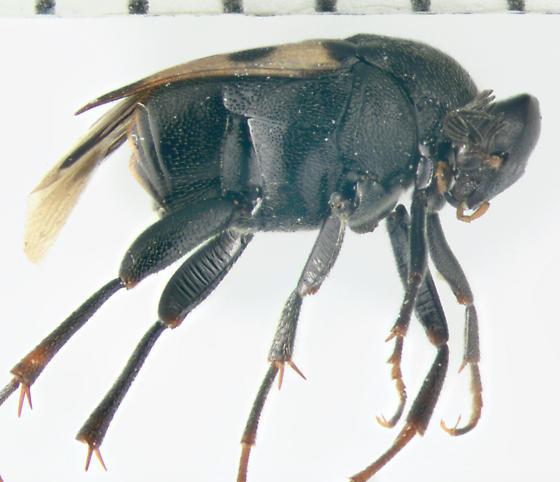 Ripiphoridae, lateral - Macrosiagon pectinata - male