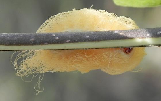 TX - Caterpillar - Megalopyge
