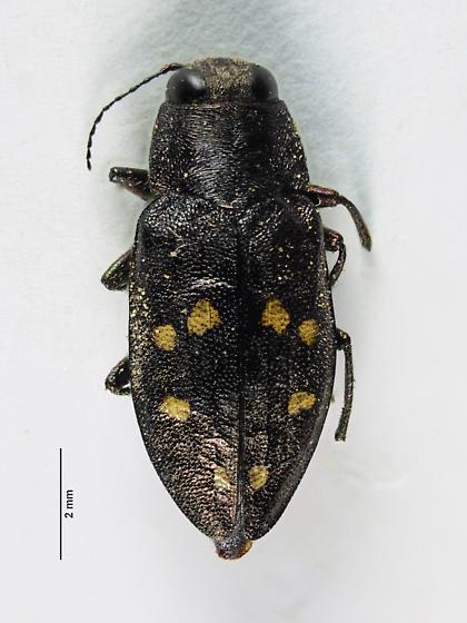 Melanophila? - Phaenops