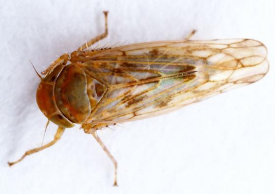 Cicadellidae - Atanus