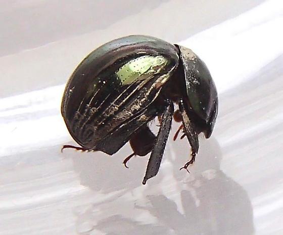 Round Fungus Beetle - Ceratocanthus aeneus