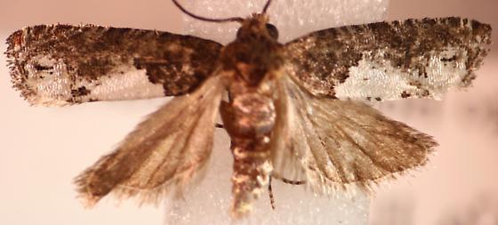 Olethreutinae - Eucosma parmatana - male