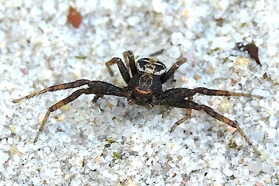 large spider - Xysticus elegans