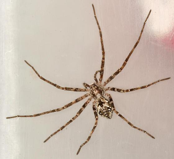 running crab spider - Rhysodromus alascensis - female