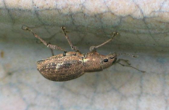 Fuller Rose Snout Beetle - Naupactus cervinus