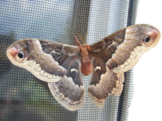 Promethea Moth - Hodges#7764 - Callosamia promethea - female