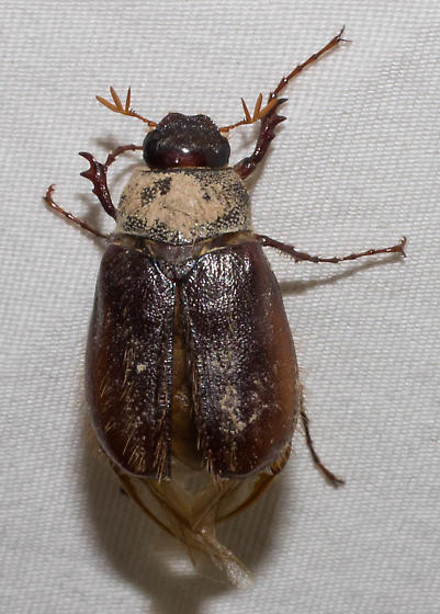 Brown scarab - Phyllophaga