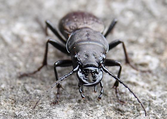 Predatory Beetle 2 - Omus dejeanii