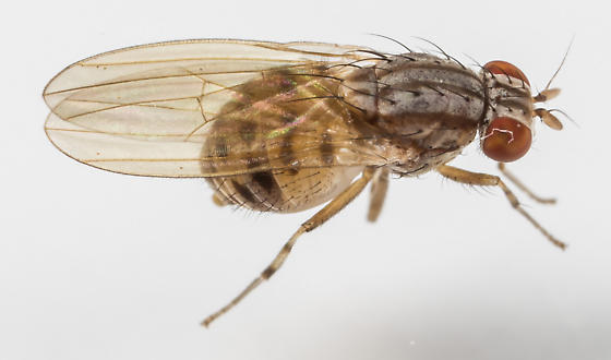 Fly - Poecilolycia - male