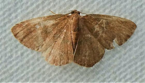 6711   Black-dotted Ruddy Moth    (Ilexia intractata) - Ilexia intractata - male