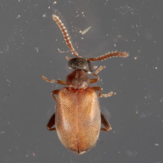 Aderidae sp. - Aderus brunnipennis