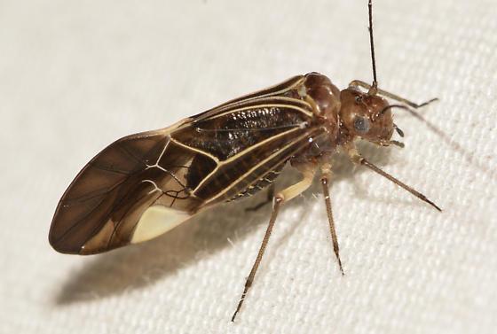 insect071617 - Cerastipsocus venosus