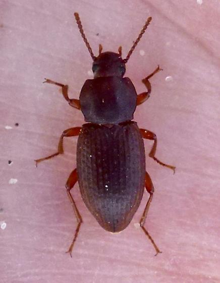 Beetle - Epantius obscurus