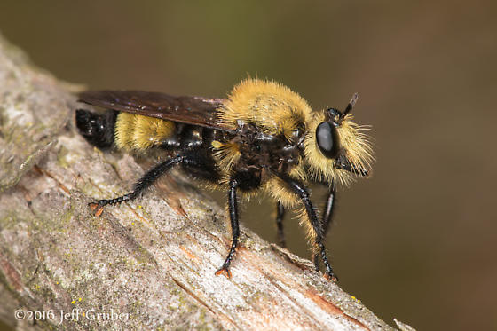 Asilid - Laphria posticata - male