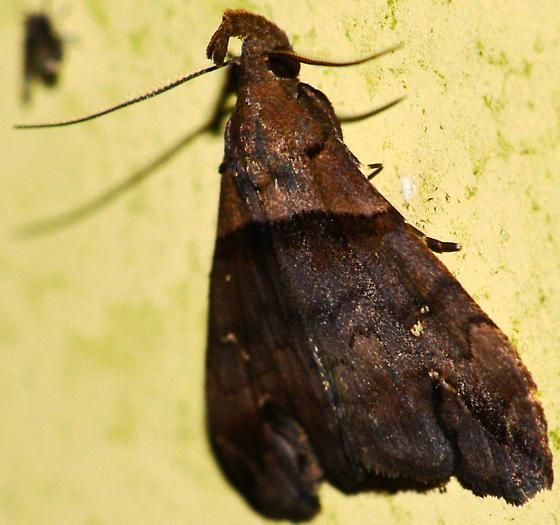 Dark Brown wavy line and edge moth - Lascoria ambigualis