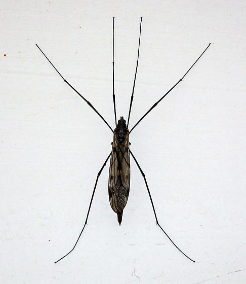 Large mosquito type bug? - Tipula abdominalis