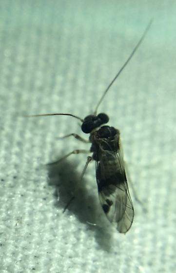 Big bark louse - Indiopsocus texanus
