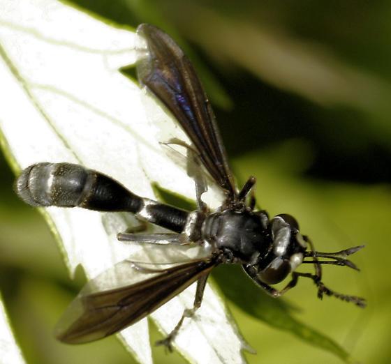 Wasp Mimic Fly - Physocephala tibialis