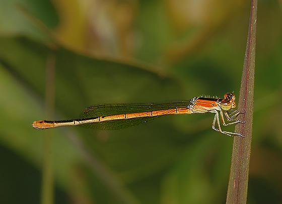 Damselfly11 - Ischnura hastata - female