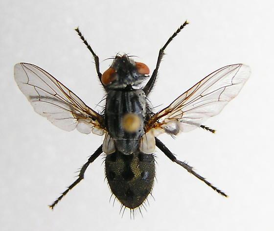 Flesh Fly - Wohlfahrtia vigil
