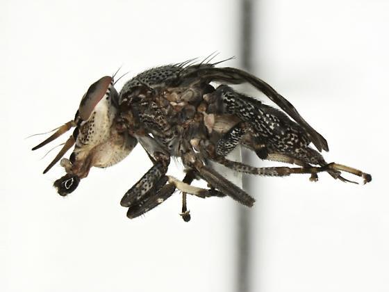 Stictomyia longicornis  - Stictomyia longicornis - female