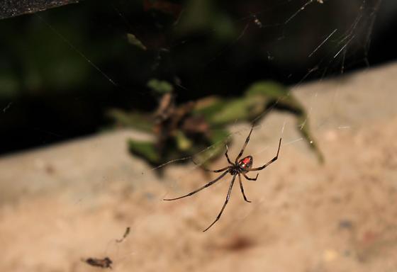 Brown Widow Spider - Latrodectus geometricus - female