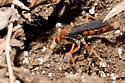 Large Solitary Wasp - Tachypompilus ferrugineus - female