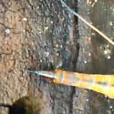 Large Cranefly - Tipula dorsimacula - female
