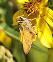 skipper species - Atalopedes campestris