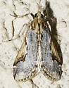 as was this one - Loxostege albiceralis