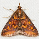 Mint-loving Pyrausta Moth - Hodges#5071 - Pyrausta acrionalis