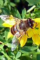Bug on birdsfoot trefoil - Eristalis tenax