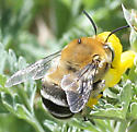 Bee - Anthophora fedorica - male