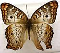 Lepidoptera - Anartia jatrophae