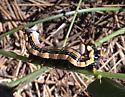 Dasylophia anguina, caterpillar, Mogollon Rim Visitor Center, Arizona - Dasylophia