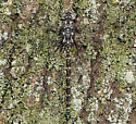 Harlequin Darner - Gomphaeschna furcillata - male